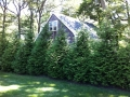 Green Giant Arborvitae Screen