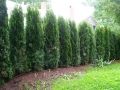 Emerald Green Arborvitae Screen