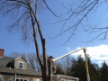 Large linden removal with bucket truck