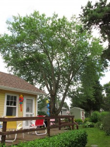 Properly thinned silver maple